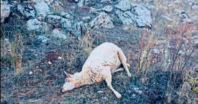 Kurtlar saldırdı 60 koyun öldü