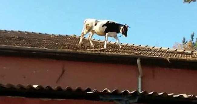 Kesime getirilen inek mezbahanın çatısına kaçtı