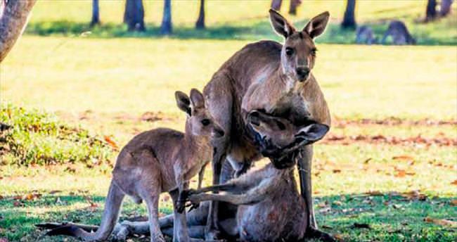 Kanguru eşinin kollarında öldü