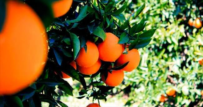 Akdeniz'i portakal kokusu sarmış