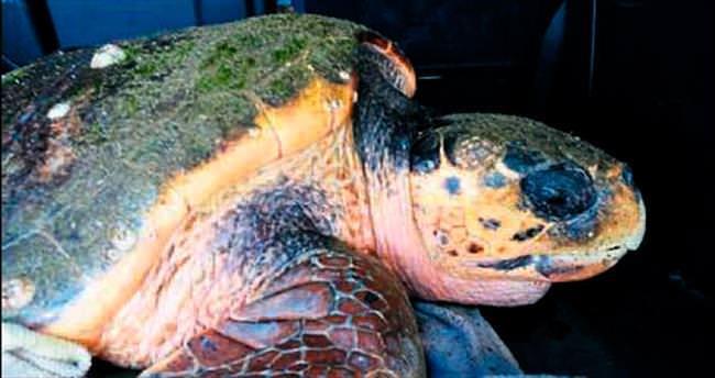 Yaralı kaplumbağa korumaya alındı