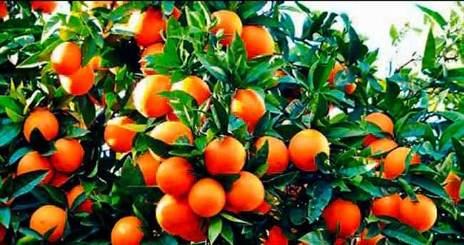 Antalya'nın meyveleri