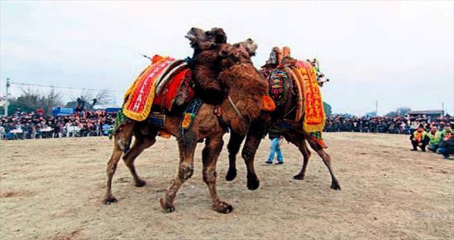 Menderes'te deve güreşleri yapılacak
