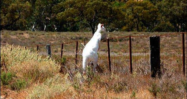 İnternet yıldızı albino kanguru...
