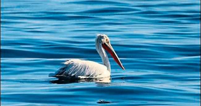 Pelikan, İzmir Körfezi'ni sevdi