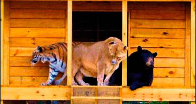 Aslan, kaplan ve ayı 15 yıldır birlikteler