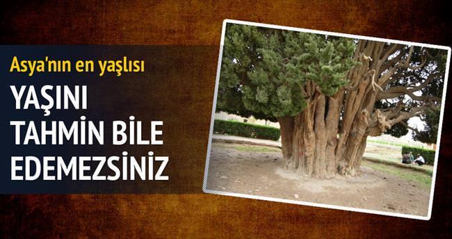 Bu ağaç 4.500 yaşında