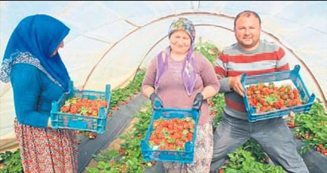 Fethiye'de organik çilek marka olacak