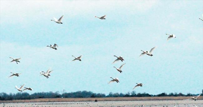 Orta Karadeniz'de 88 bin su kuşu tespit edildi