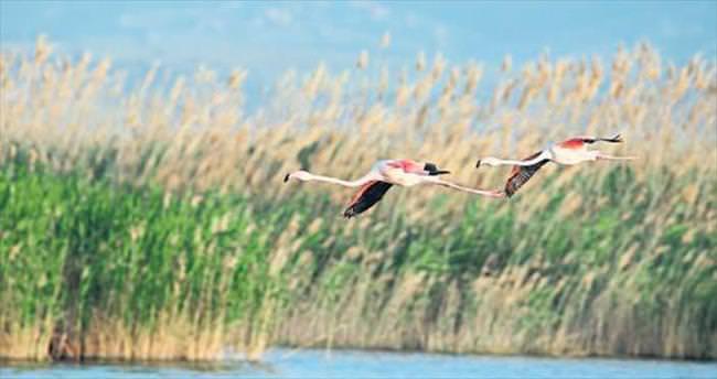 Kuş Cenneti'nde flamingo şov