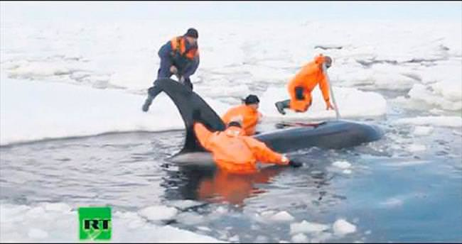 Balinalar, 8 saatte özgürlüğe kavuştu