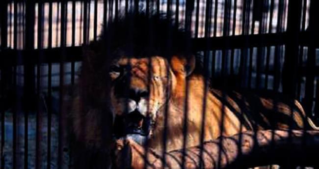 Tarihin en kalabalık canlı aslan transferi