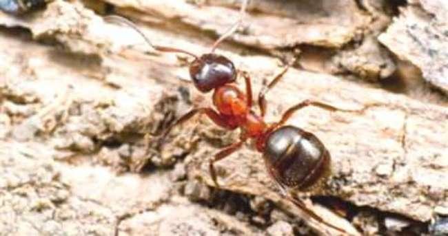 Ormanların koruyucu muhafızları kırmızı karıncalar iş başında