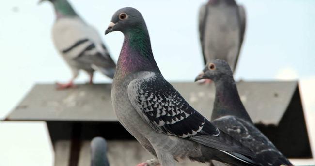 Ürdün'de DAEŞ'e ait İHA ve posta güvercini bulundu