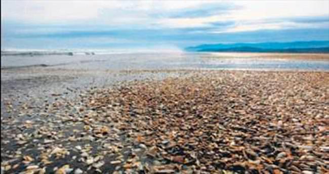 Şili'de yüz binlerce midye sahile vurdu