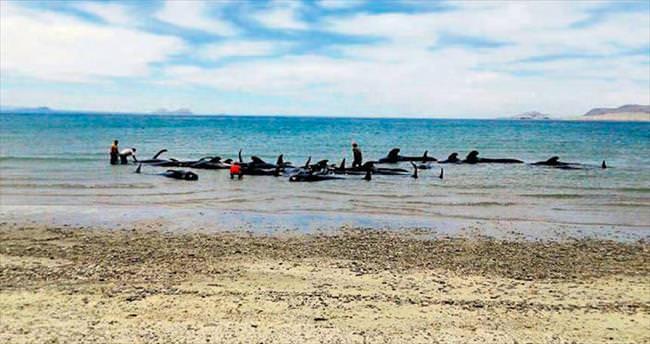 27 balina karaya vurdu sadece 3'ü kurtarılabildi
