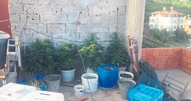 Evinin terasında Hint keneviri yetiştirmiş