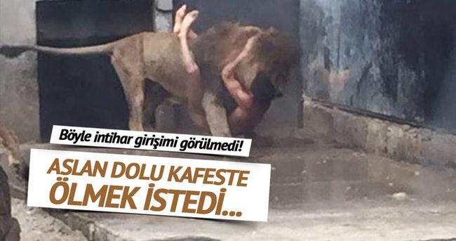Şili'de bir genç intihar için aslanların kafesine girdi
