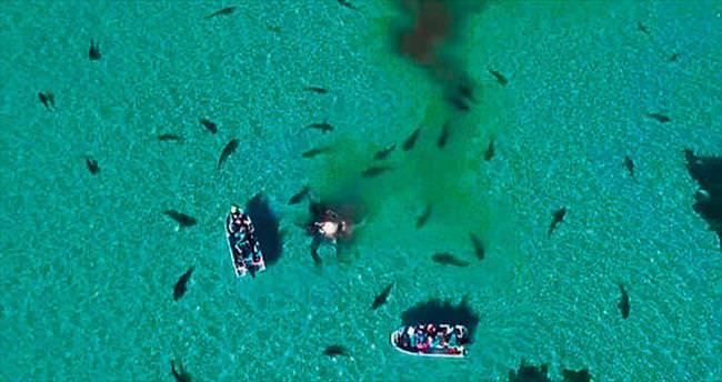 Köpekbalıklarının balina 'ziyafet'i