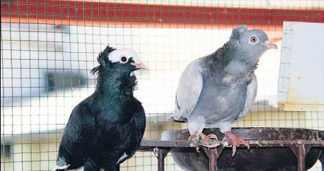 15 bin liralık güvercin çalındı