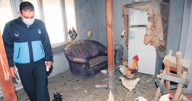 Tavuk operasyonu