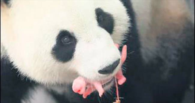 Panda Hao Hao yeni anne oldu