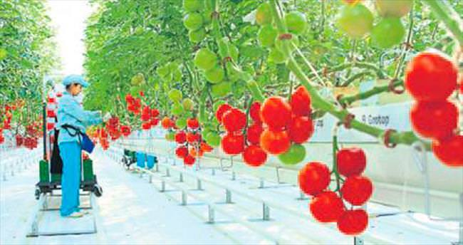 Sultan Sera hasat rekoru kırdı