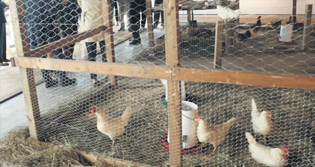 Bill Gates'ten Afrika'ya 100 bin tavuk