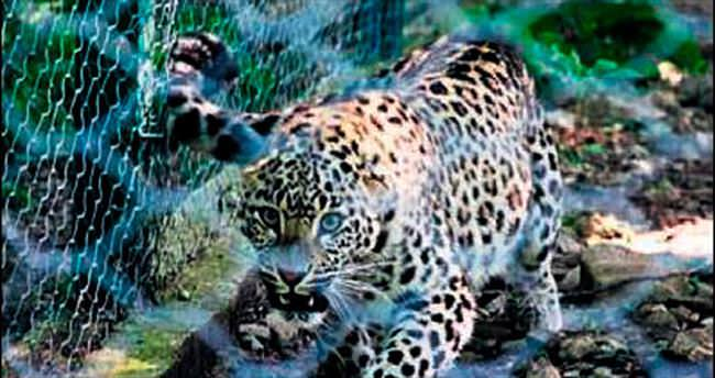 Dört Fars leoparı doğaya salınacak
