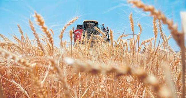 Buğday rekoltesinde yüzde 15'lik düşüş
