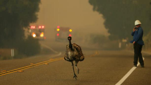 Orman yangınından kaçışın fotoğrafı
