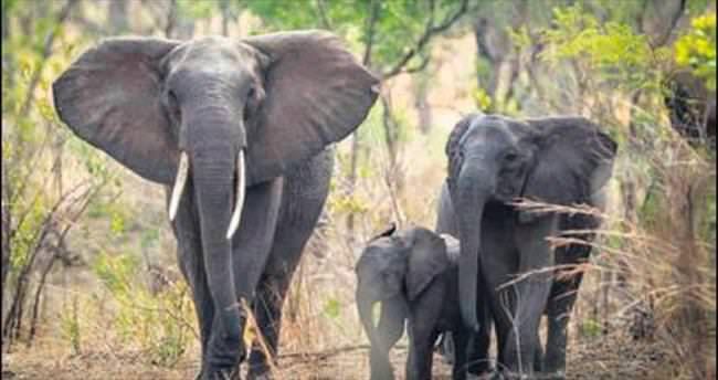 500 fil taşınacak