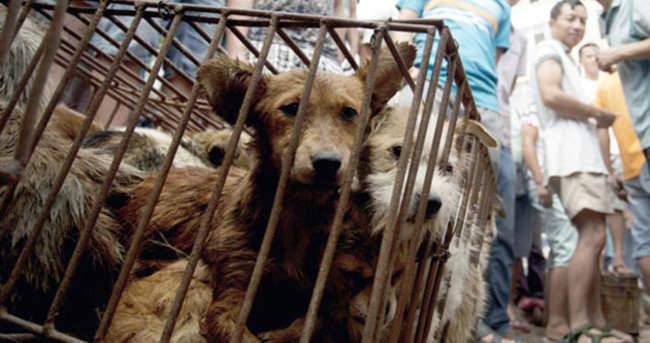Tepki çeken köpek festiveli Çin'de resmen başladı