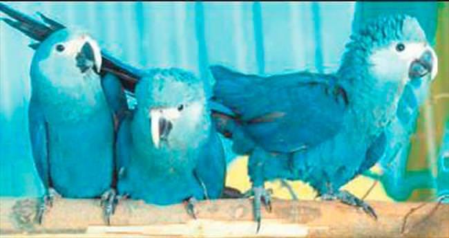 Mavi Papağan 15 yıl sonra ilk kez görüldü