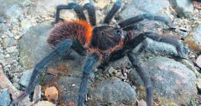 Yeni tarantulaya Marquez adı verildi