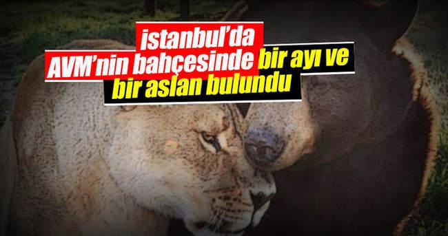 Esenyurt'ta AVM bahçesinde aslan ve ayı bulundu