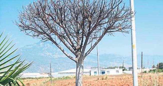 Yetki kargaşası ağaçları kuruttu