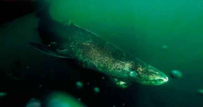 En yaşlı omurgalı Grönland köpekbalığı