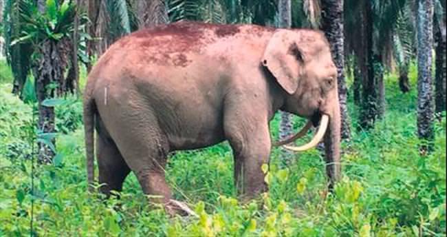 Malezya'da ters dişli fil bulundu