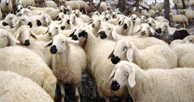 Kurbanlık koyun fiyatları 2016