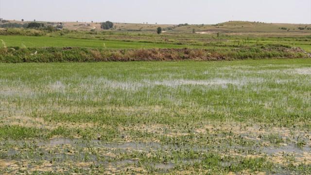FETÖ'cüler, 'pirinç tarlasında' yakalandı