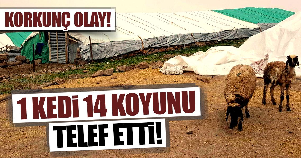 Tunceli'de koyunlar kediyi kurt zannetti, korkudan birbirlerini ezdi