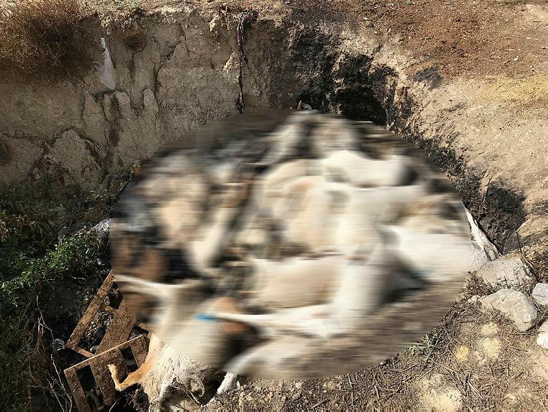 Denizli'de aç bırakıldığı iddia edilen 150 keçi telef oldu
