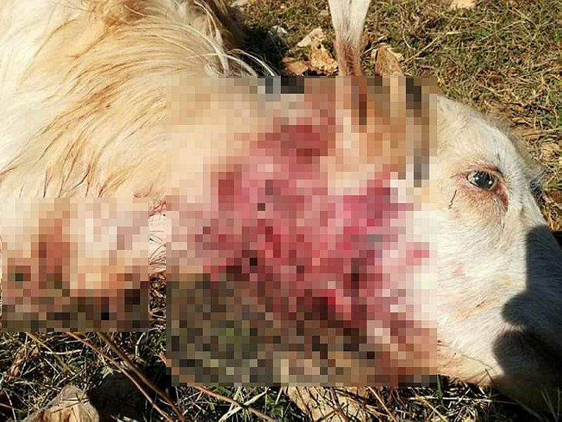 Kozan'da kurtlar, bir haftada 20 hayvanı telef etti