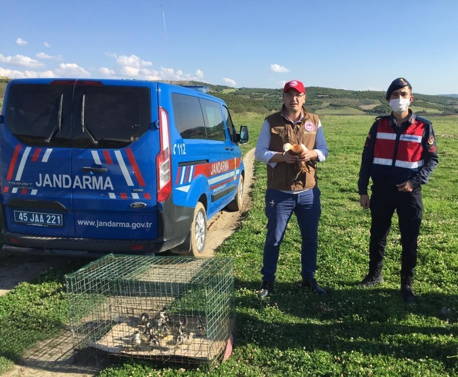 Jandarmanın kedilerden kurtardığı Angut kuşları doğaya salındı