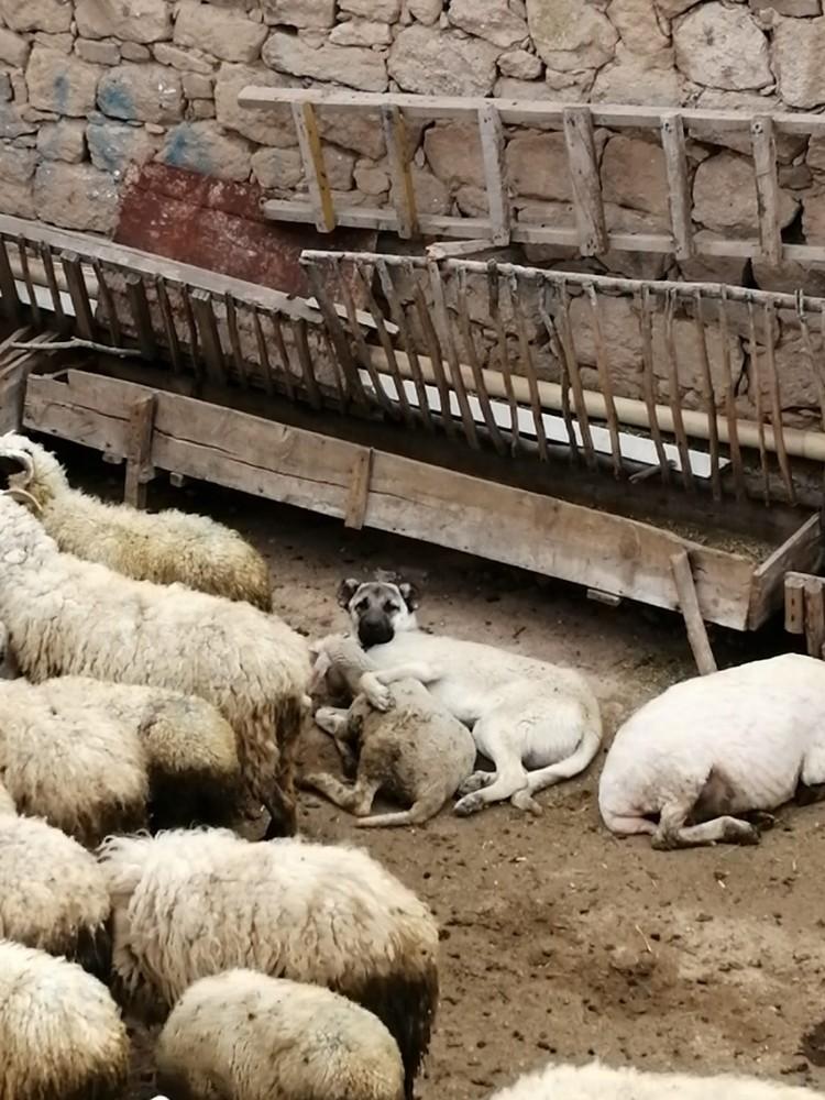 Koyunla köpeğin şaşırtan dostluğu