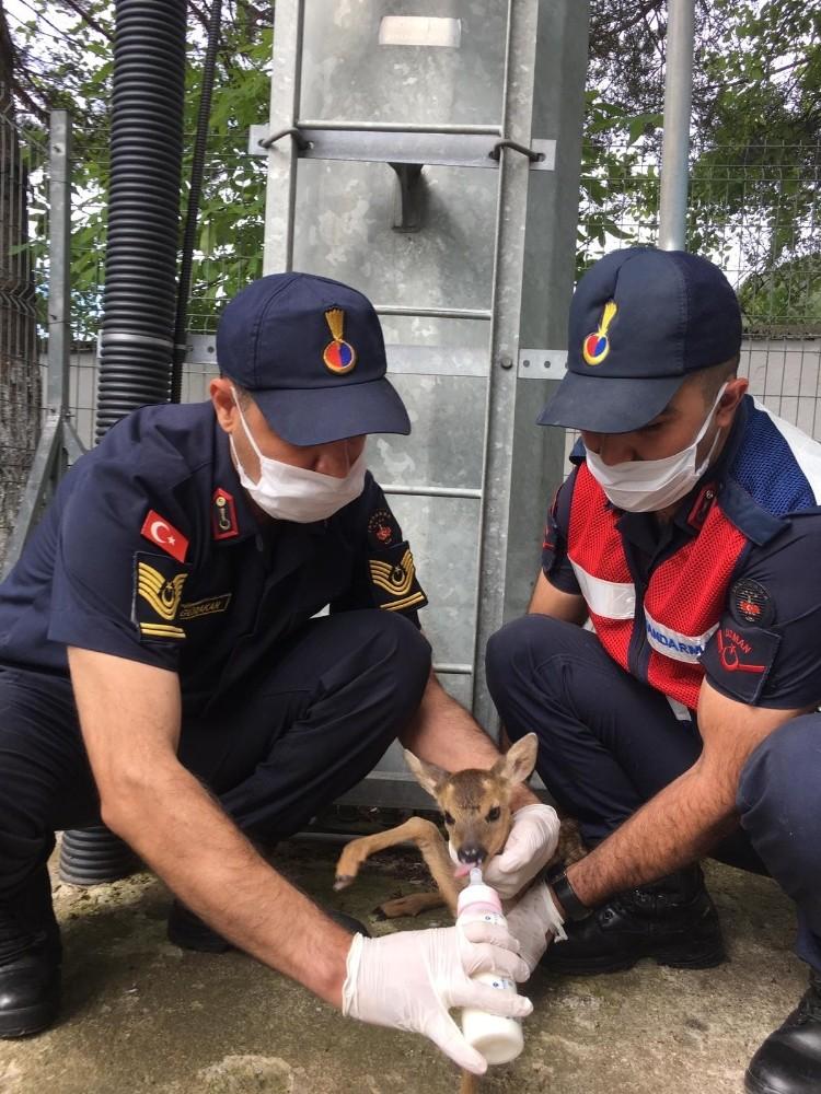 Sokak köpeklerinin kovaladığı yavru karacayı jandarma kurtardı
