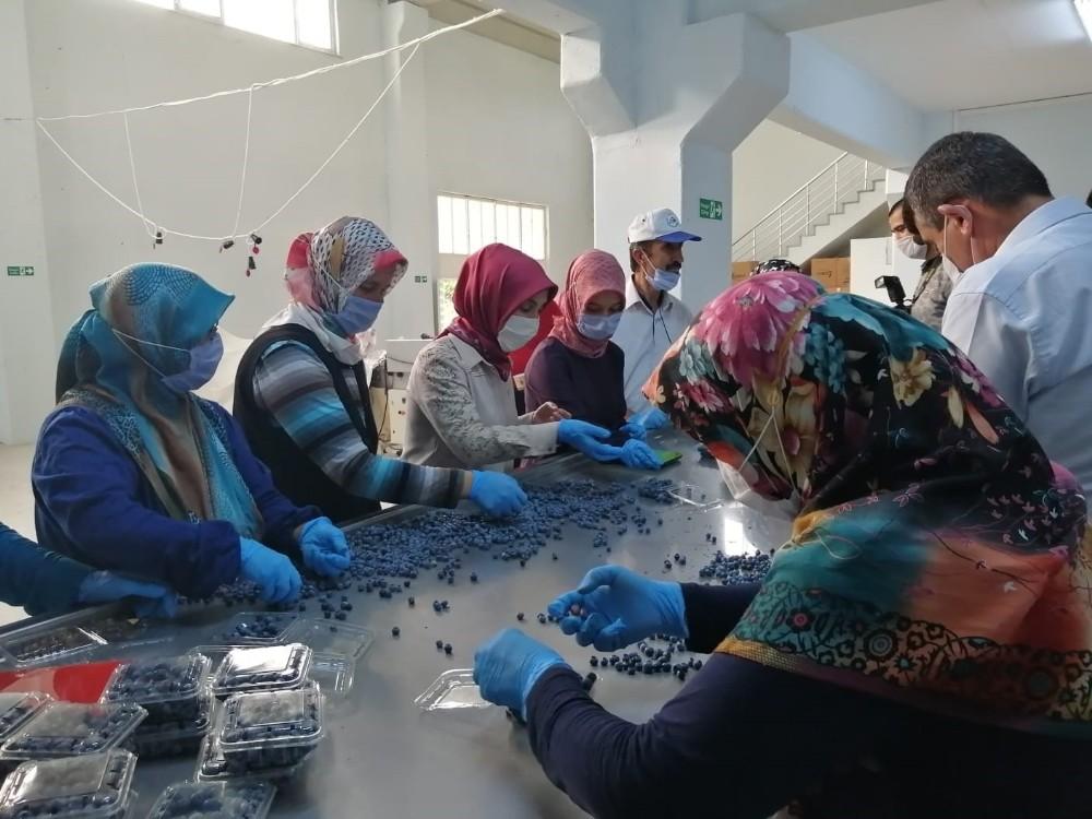 Dünyanın yaban mersini Bursa'da üretiliyor
