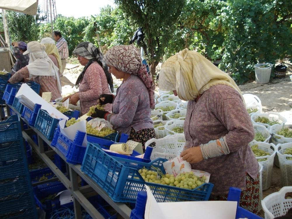 Denizli'de 354 bin 185 dekara dikilen üzümüm hasadı devam ediyor