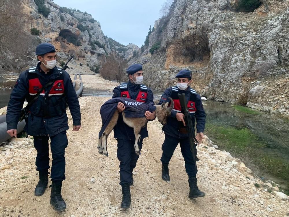 Mersin'de yaban keçisi yavrusu ormanda donmak üzereyken bulundu